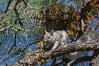 Abert's Squirrel (Sciurus aberti) eating dwarf mistletoe growing on ponderosa pine.  South Rim, Grand Canyon area, Arizona.