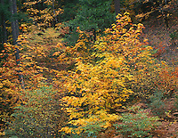 ORCAC_063 - USA, Oregon, Willamette National Forest, Autumn-colored bigleaf maple stands out in conifer forest, McKenzie Valley.