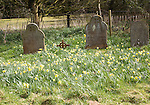 Daffodils flowering in country graveyard in Spring, Shottisham, Suffolk, England, UK