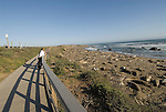 California, San Luis Obispo County:  Elephant Seals gather at Piedras Blancas beach..Photo caluis196-70999..Photo copyright Lee Foster, www.fostertravel.com, 510-549-2202, lee@fostertravel.com