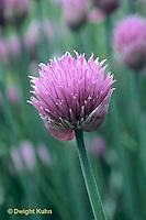 HS35-019b  Chives - in flower - Allium schoenoprasum