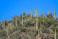 Sahuaros y catus. <br /> Rancho eco tur&iacute;stico El Pe&ntilde;asco en el pueblo Magdalena de Kino. Magdalena Sonora. <br /> &copy;Foto: LuisGutierrrez/NortePhoto
