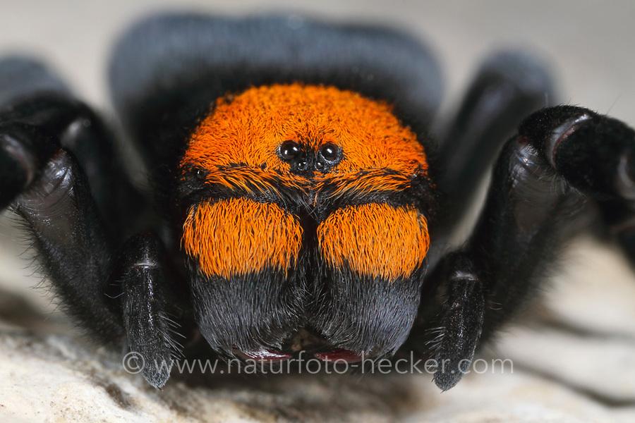 Röhrenspinne, Weibchen, Eresus moravicus, ladybird spider, female, Röhrenspinnen, Eresidae, ladybird spiders