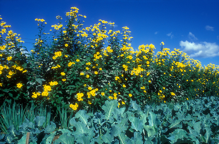 Jerusalem artichokes Helianthus tuberosus in yellow late summer bloom against blue sky with broccoli in vegetable garden