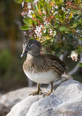 0310-1019  Female Mandarin Duck, Aix galericulata  © David Kuhn/Dwight Kuhn Photography.