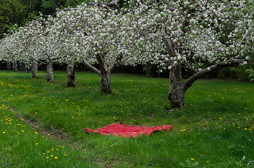 Red picnic blanket in blooming apple orchard, Hansels orchard, North Yarmouth Maine, USA