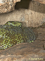 0430-1102  Mang Mountain Pit Viper (China Mangshan Pitviper), Only Non Cobra that Can Spit Venom, Zhaoermia mangshanensis (syn. Trimeresurus mangshanensis)  © David Kuhn/Dwight Kuhn Photography