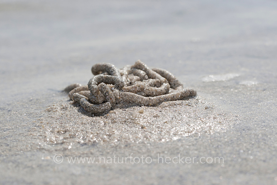 Wattwurm, Watt-Wurm, Pierwurm, Sandpier, Sandpierwurm, Köderwurm, Sandhäufchen auf Wattboden, im Watt, bei Ebbe, Sandwatt, Niedrigwasser, Arenicola marina, European lug worm, lug worm, blow lug