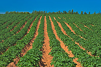Rows of potatoes in red soil <br />Annandale<br />Prince Edward Island<br />Canada