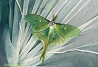 LE10-089x   Luna Moth - adult caught with net - Actias luna