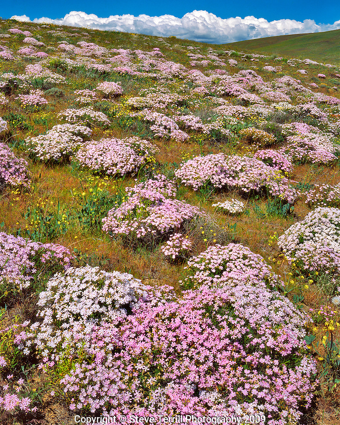 Phlox on Yellow Jacket Hill in Klickitat County, Washington