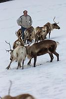 Europe/France/Franche Comté/39 /Jura/La Pesse: Rennes au parc animalier:  Le Pays des Rennes - Laponia Dream, Patrick Meng et ses rennes  //  France, Jura, La Pesse: Reindeer zoo: The Land of Rennes - Laponia Dream, Patrick Meng and his reindeer
