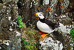 Horned puffin, Cape Pierce, Alaska