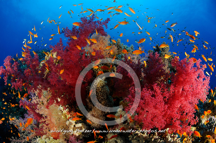 klunzingeris soft corals, Dendronephthya klunzingeri, and Lyratail anthias, Pseudanthias squamipinnis, South Egypt, Red Sea