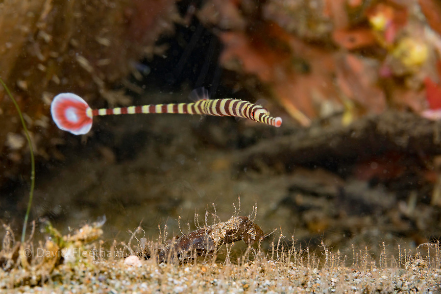 This female banded pipefish, Dunckerocampus dactyliophorus, is pictured above a sandy bottom covered with skeleton shrimp, Caprellide sp. Countless numbers of these crustaceans covered the bottom everywhere in Dumaguete, Philippines.