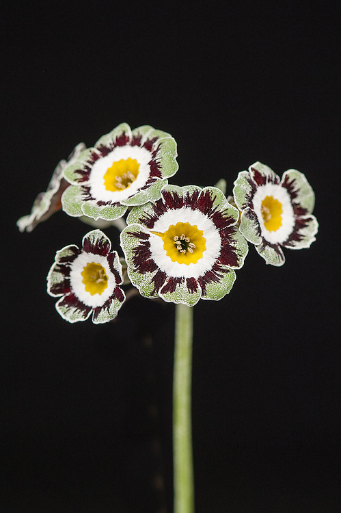 Primula auricula 'New Bottle', late May.
