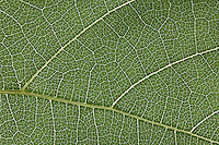 Grape Vine, leaf, Uvalde County, Hill Country, Texas, USA, April 2006