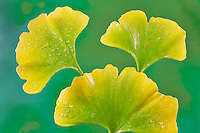 Fall colored Ginko Leaves (Ginko biloba) after rain. Tigard, Oregon