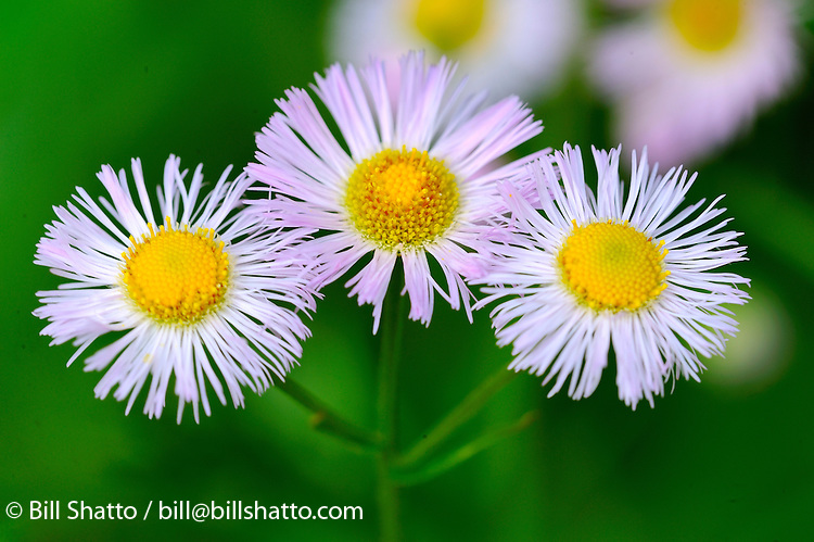 Three wild daisies.