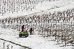 Workers check the vines in Sobon Estate Winery vineyards coated with snow from a passing winter storm in the Sierra Foothills, Amador Co. California.