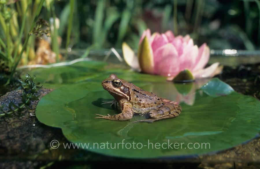 Grasfrosch, Gras-Frosch, Frosch, mit Seerose, Rana temporaria, European Common Frog, European Common Brown Frog, Teich, Gartenteich