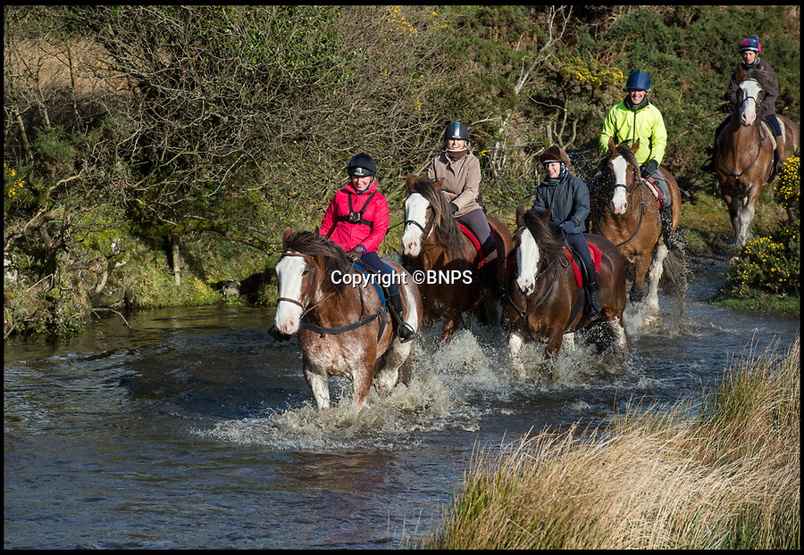 BNPS.co.uk (01202 558833)<br /> Pic: PhilYeomans/BNPS<br /> <br /> Adventure Clydesdales on Dartmoor are doing their bit to save the magnificent heavy horses by offering treks across the remote parts of the moor on these huge beasts.<br /> <br /> Owner Tim Ancrum  said 'We have to find modern uses for these beautiful animals or their numbers will continue to dwindle away. They're excellent trekking horses, you get a spectacular view, and their as comfortable as an old armchair'<br /> <br /> Now listed as vulnerable by the Rare Breeds Survival Trust their are less than a thousand breeding mares left of a breed that was once commonplace on most of the farms in Scotland before the arrival of the internal combustion engine.