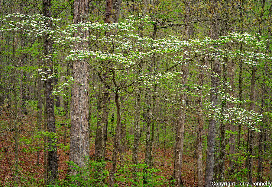 Brown County, Indiana:<br /> Flowering dogwood (Cornus florida) in a spring hardwood forest, Brown County State Park