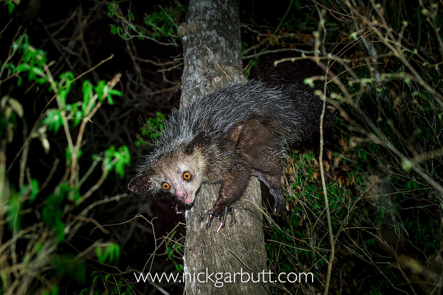Female Aye-aye (Daubentonia madagascariensis) foraging in the middle canopy / understorey of dry deciduous forest at night. Forests near Andranotsimaty, Daraina, northern Madagascar. Endemic. Endangered.
