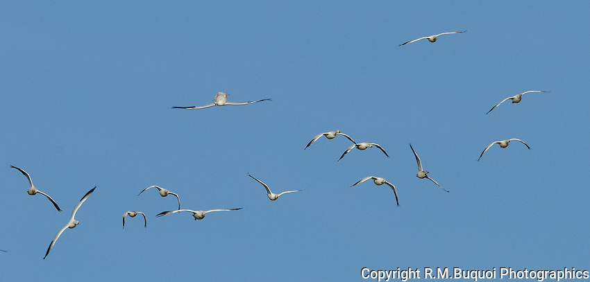Snow Geese Acrobatics  at Bosque Del Apache NWR