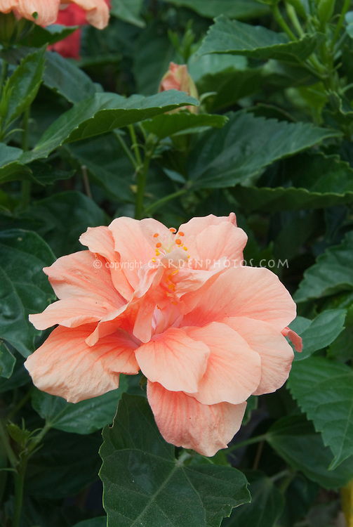 Hibiscus rosa-sinensis 'Mango Mist' Backyard Oasis