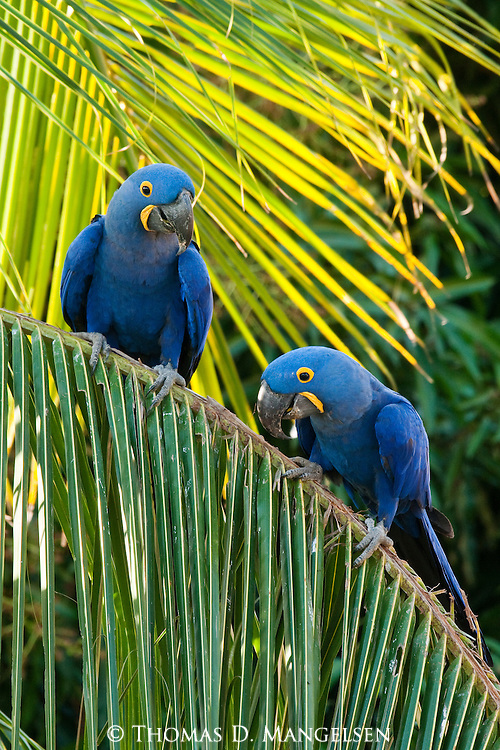 Two hyacinth macaws perch in a palm tree in the Pantanal, Mato Grosso, Brazil.