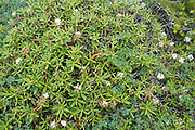 Labrador Tea-Ledum groenlandicum- during the summer months in the White Mountains, New Hampshire  USA. .Notes:  This plant can be found on the rocky slopes of the alpine zone