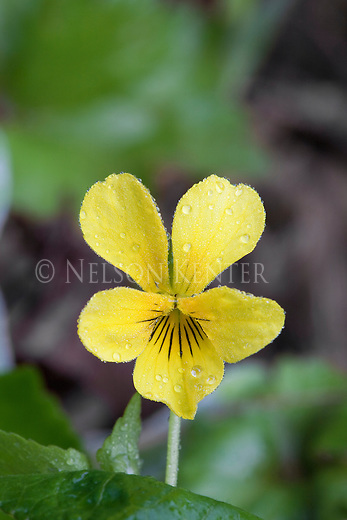 Yellow Violets in Lolo National Forest in Montana