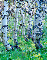 Twisted Aspen trunks in Steens Mountain, Oregon.
