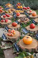 France, Indre-et-Loire, Château de la Bourdaisière, les jardins, lieu du conservatoire de la tomate, quelques tomates de la collection lors de la fête annuelle de la tomate // France, Indre-et-Loire, the château de la Bourdaisière, Conservatory of tomato, exibition of tomatoes