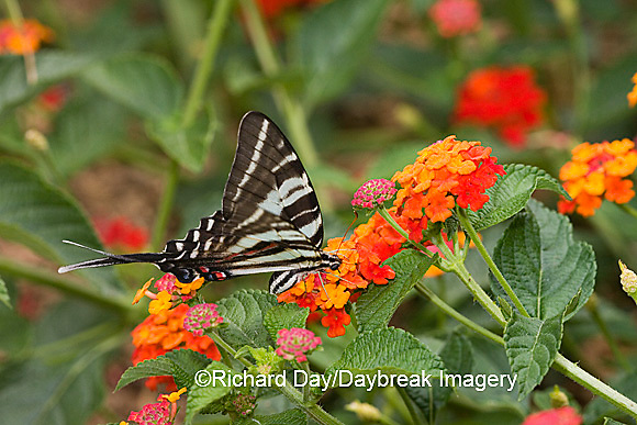 03006-002.17 Zebra Swallowtail (Eurytides marcellus) on Red Spread Lantana (Lantana camara) Marion Co.  IL