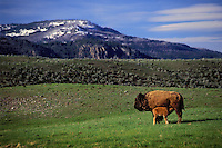PLAINS BISON. Cow & calf suckling..Yellowstone National Park. USA..Spring. (Bison bison).