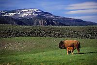 PLAINS BISON. Cow & calf suckling..Yellowstone National Park. USA..Spring. (Bison bison).