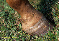 SH06-010z  Arabian Horse foot close-up