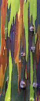 The multio-hued bark of the rainbow eucalyptus (Eucalyptus deglupta) shows an assortment of color based on seasonal peeling.