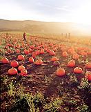 USA, California, farmers carrying pumpkin at Bob's Pumpkin Patch, Half Moon Bay