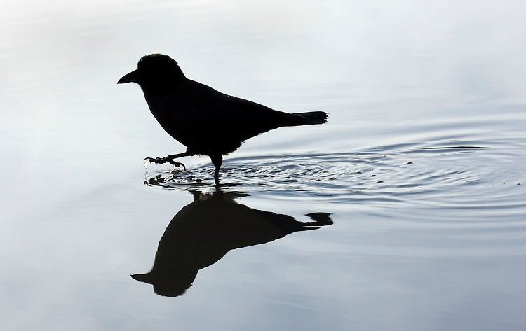 A northwestern crow traipses through a puddle in Kenai, Alaska, before taking a bath in the cold standing water.