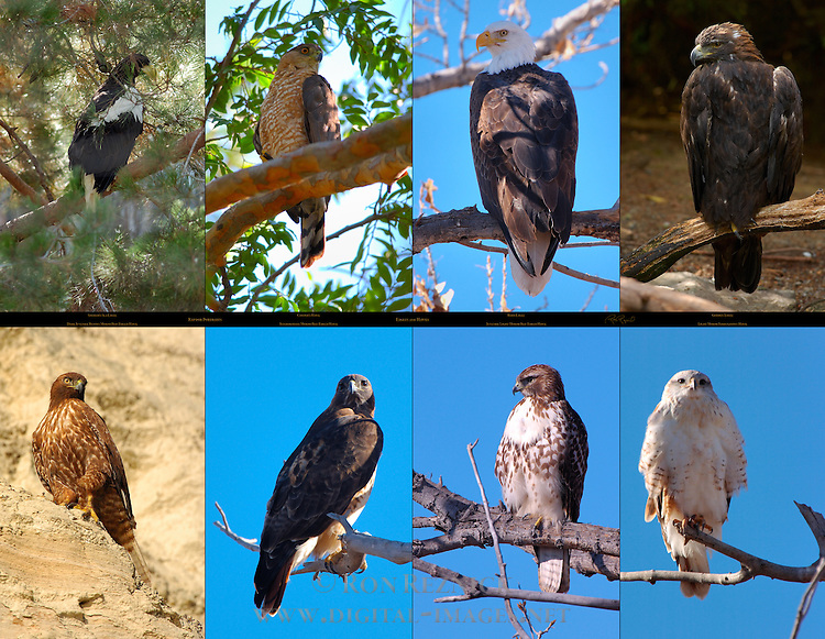 Raptor Portraits, Eagles and Hawks, Steller's Sea Eagle, Cooper's Hawk, Bald Eagle, Golden Eagle, Dark Juvenile Rufous Morph Red-Tailed Hawk, Intermediate Morph Red-Tailed Hawk, Juvenile Light Morph Red-Tailed Hawk, Light Morph Ferruginous Hawk