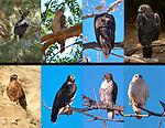 Raptor Portraits, Eagles and Hawks, Steller's Sea Eagle, Cooper's Hawk, Bald Eagle, Golden Eagle, Dark Juvenile Rufous Morph Red-Tailed Hawk, Intermediate Morph Red-Tailed Hawk, Juvenile Light Morph Red-Tailed Hawk, Light Morph Ferruginous Hawk