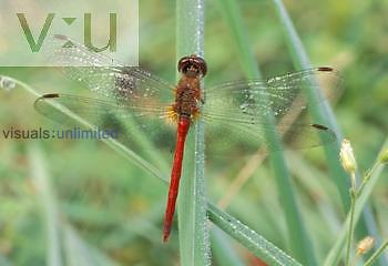 Ruby Meadowhawk Dragonfly ,Sympetrum rubicundulum,, North America.