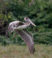 0309-0806  Flying Brown Pelican, Pelecanus occidentalis © David Kuhn/Dwight Kuhn Photography