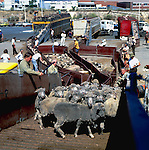 Sheep being loaded on board a transport ship, destination middle east.  Brisbane, Australia 1980.