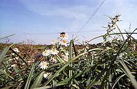 Parco Agricolo Sud Milano nella zona di Rozzano. Un'ape su delle margherite e un traliccio --- Rural Park South Milan in the area of Rozzano. A bee on a daisy and a pylon