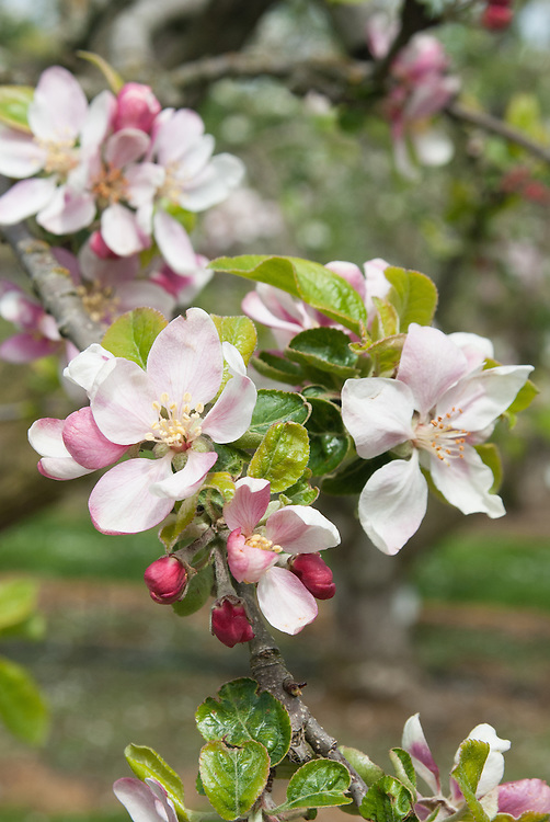 Apple 'Chorister Boy' in blossom, early May. An English dessert apple discovered in a garden in Wiltshire in the late 19th century.