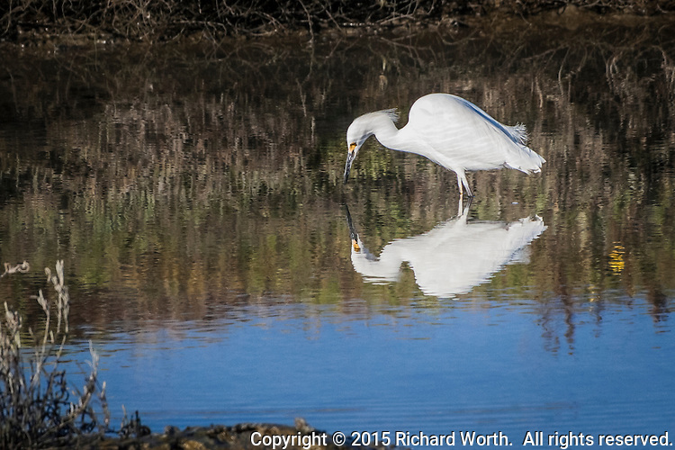 An intent Snowy egret and its reflection, searching for food in the wetlands on the eastern shores of  San Francisco Bay.